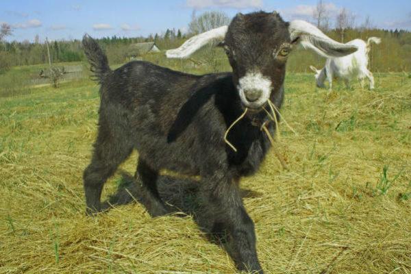 фермерское хозяйство козий сыр
